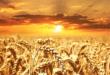 Weizenfeld 110x75 - Weizenallergie - wenn Chaos im Darm herrscht