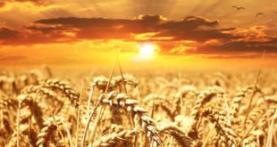 Weizenfeld 310x165 - Weizenallergie - wenn Chaos im Darm herrscht